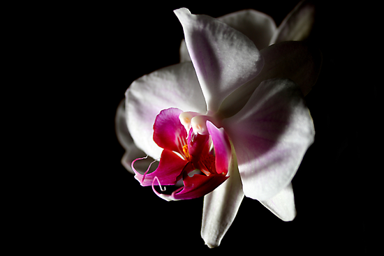 Double Headed Orchid by Rachel Lilly