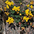 Birdsfoot Trefoil by Richard Ion