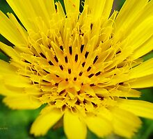 Yellow Salsify Flower by Christina Rollo