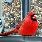 The Male Cardinal by barnsis
