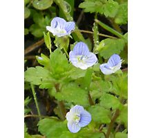Tiny Blooms of Speedwell Photographic Print
