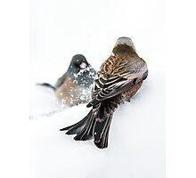 Rosy-Finch vs Junco Photographic Print