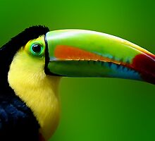 CHANNEL BILLED TOUCAN by Michael Sheridan
