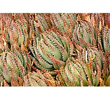 Cacti Cluster Photographic Print