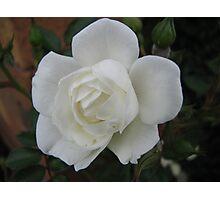 White rose on dark background Photographic Print