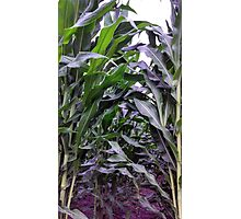 Corn So Tall Photographic Print