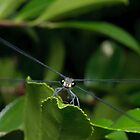 Flatwing Damselfly by Andrew Trevor-Jones