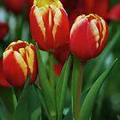 Three Tulips by harborhouse55