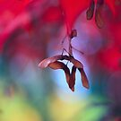 Maple seeds by SylviaCook