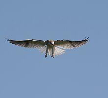 Juvenile Black Shouldered Kite Hunting by Normf