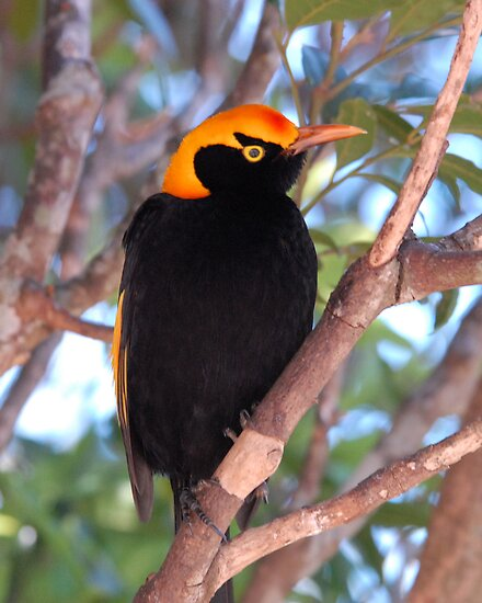 Regent Bowerbird by Alwyn Simple