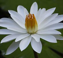 Fiji Lotus by Kelly Robinson