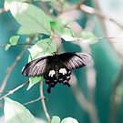 butterfly by Jessica  Lia