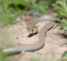 Legless Lizard by Peter Ellen