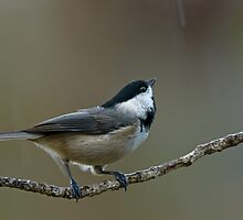Chickadee in the Rain by Bonnie T.  Barry