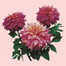 Pink Dahlias Kidds Climax by Susan Savad