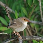 Superb Fairy Wren Female by Elmacca