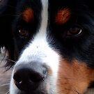 Bernese Mountain Dog by Johnny Furlotte