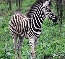 Zebra in Kruger National Park by Philip James Filia