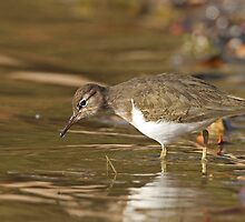 Spotted Sandpiper by tomryan