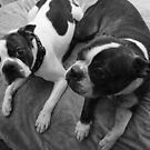 Boston Terrier Pride by Misti Hymas