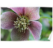 Hellebore Flower Poster
