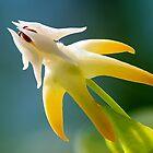 Shooting Star Hoya Flower by Cranston Reid
