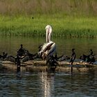 Odd one out Pelican by Kym Bradley