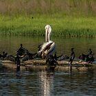 Odd one out Pelican by Kym Bradley