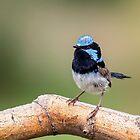 Blue Wren Male by Kym Bradley