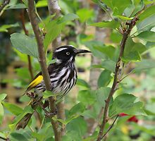 New Holland Honeyeater by Andreas Koepke
