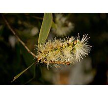 Melaleuca Flower Photographic Print