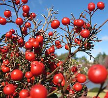 Red berries by Marilyn Baldey