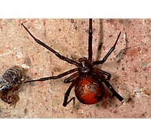 The infamous Aussie Redback Spider (1) Photographic Print