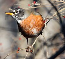 Winter Robin by noffi