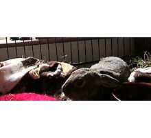 Baby Wombat sleeping Photographic Print