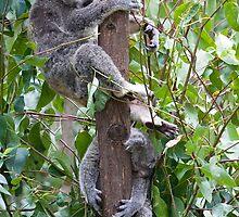 Sleeping Koalas by Allan Walters
