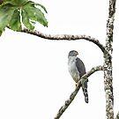 Bicolored Hawk - Costa Rica by Jim Cumming