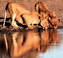 Lioness drinking by Kevin Jeffery