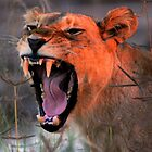 Angry Lioness by Kevin Jeffery