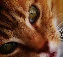 Ginger Cat by photonet