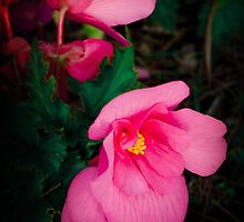 Pink Begonia by Catherine Hamilton-Veal  ©