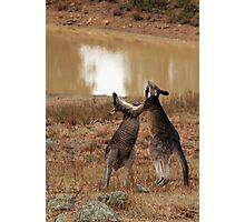 Boxing Kangaroos Photographic Print