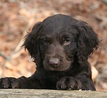 Boykin puppy - 8-weeks old by Pamela Kadlec