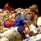 Mandarin Goby by Johnny Furlotte