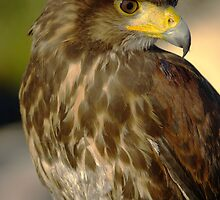 Harris Hawk by M G  Pettett