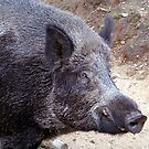Wild Boar by Johnny Furlotte