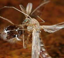 Chironomid Hatched by Darren Post