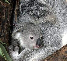 Koala Cuddles by Beryl Smith