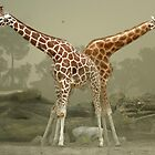Giraffes by jimmy hoffman
